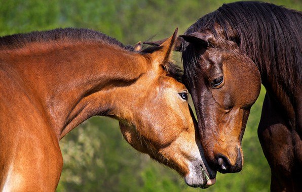 Picture tenderness, horse, pair