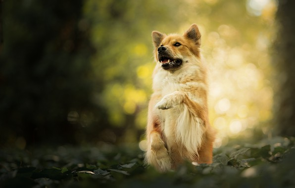 Picture paw, dog, stand, bokeh, The eurasier