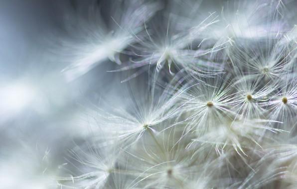Picture white, dandelion, fuzzes