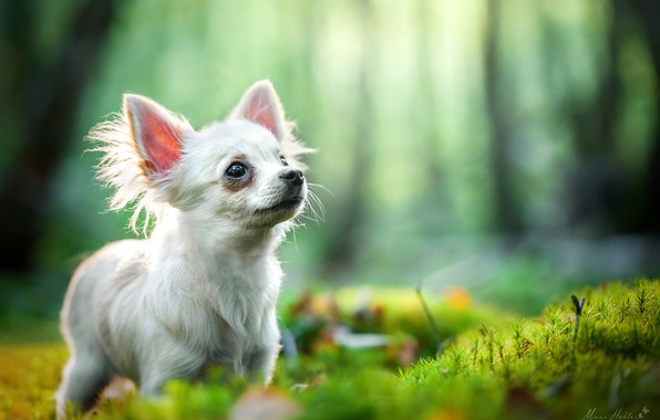 Picture bokeh, doggie, Chihuahua, dog