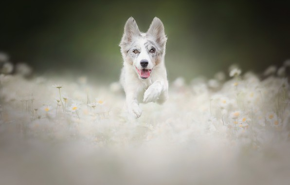 Picture flowers, chamomile, dog, meadow, puppy, walk