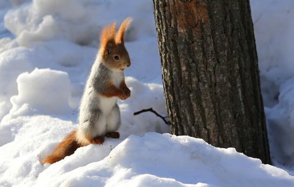 Picture winter, snow, nature, tree, animal, protein, trunk, rodent