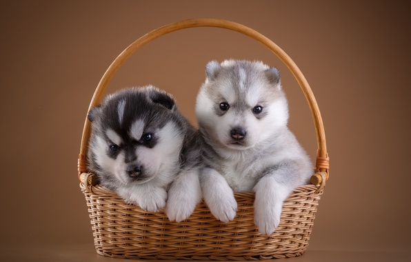 Picture basket, puppies, husky