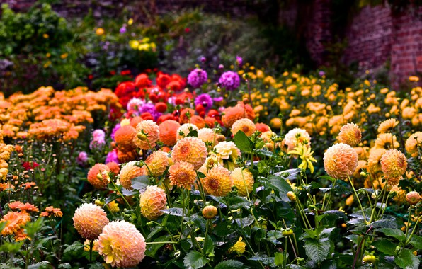 Picture summer, flowers, colorful, flowering, a lot, Dahlia