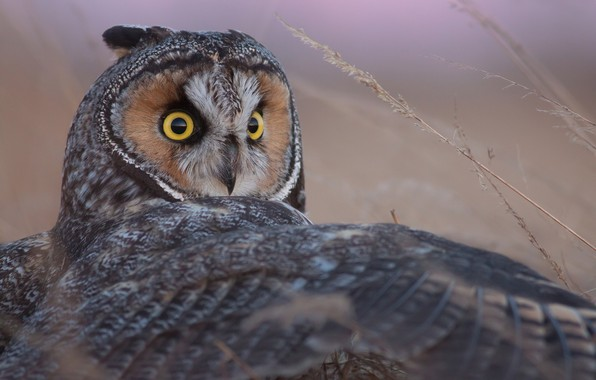 Picture owl, bird, wing, Long-eared owl