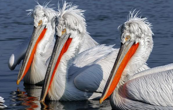 Picture birds, nature, pelicans