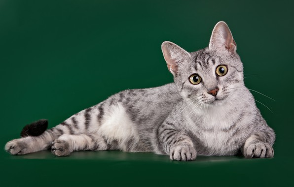 Picture cat, breed, the Egyptian Mau