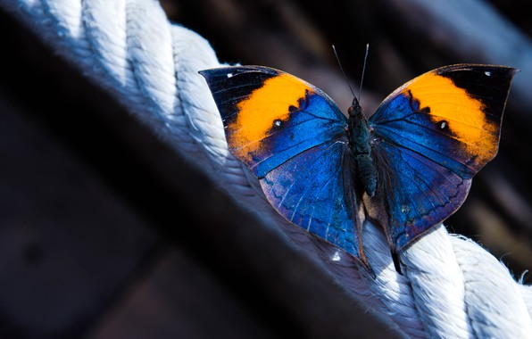 Picture macro, butterfly, wings, rope, Kallima