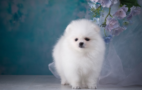 Picture white, breed, Spitz