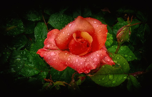 Picture flower, leaves, water, drops, rose, petals, Bud