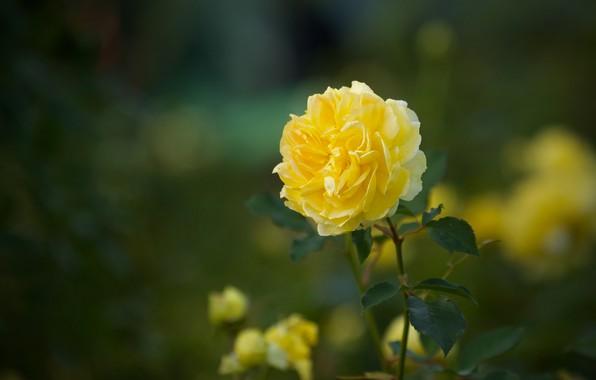 Picture rose, bokeh, yellow rose