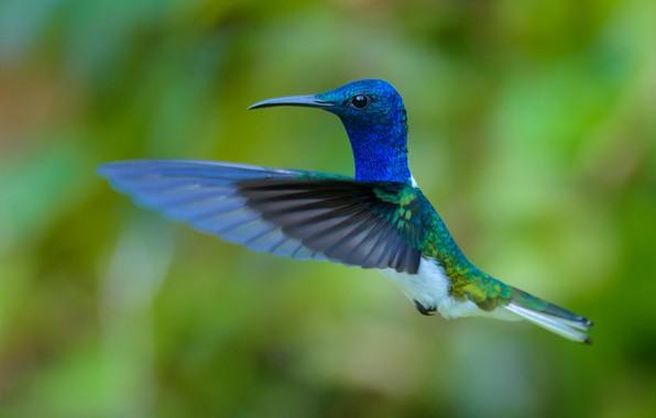 Picture bird, Hummingbird, flies