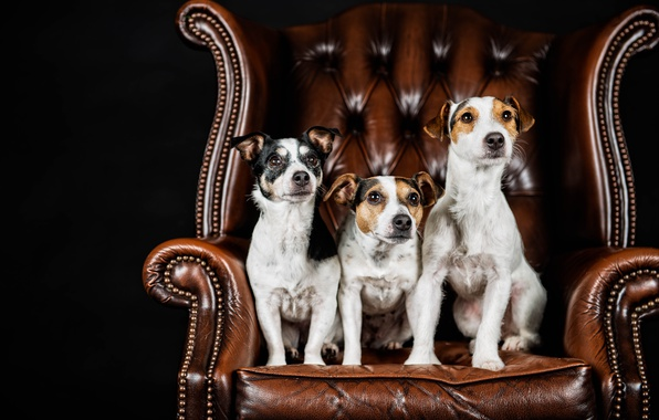 Picture dogs, portrait, chair, trio, black background, Trinity, Jack Russell Terrier