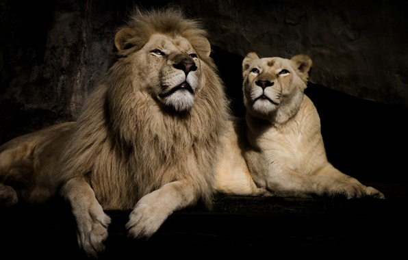Picture background, stay, Leo, pair, lioness
