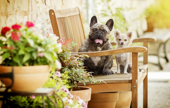 Picture dogs, flowers, bench, bokeh, two dogs, Chihuahua, French bulldog