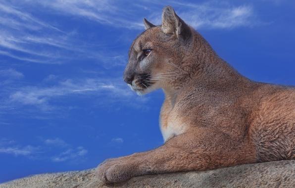 Picture the sky, portrait, profile, Puma, wild cat, mountain lion