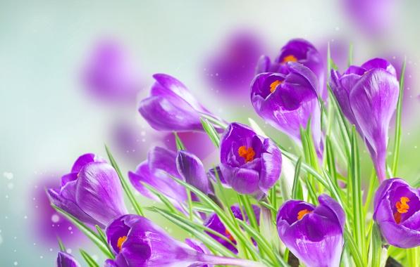 Picture background, purple, crocuses, bokeh, closeup