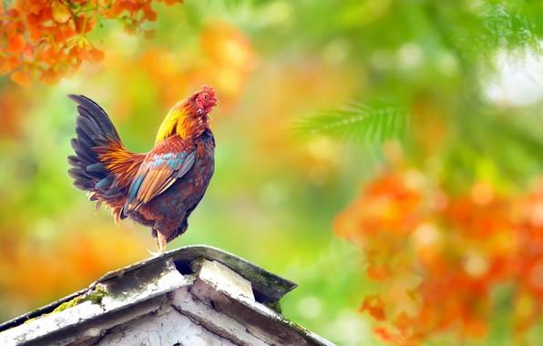 Picture bright, bird, cock