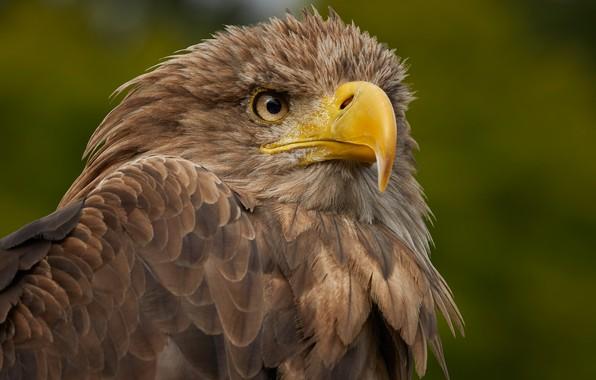 Picture birds, predator, beak, white-tailed eagle