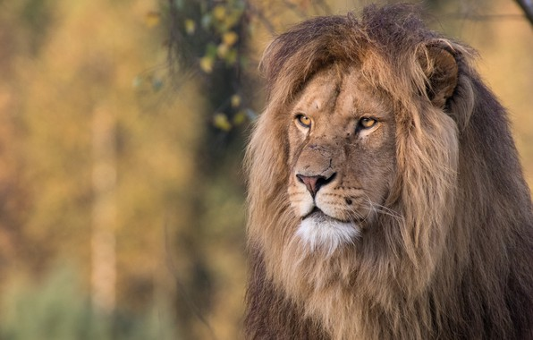 Picture cat, look, face, nature, background, Leo, mane, wild cats, Portet