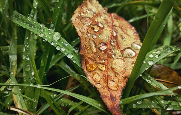 Picture autumn, grass, leaves, drops, macro, sheet, rain, mood, grass, rain, drop, autumn, leaves, fall