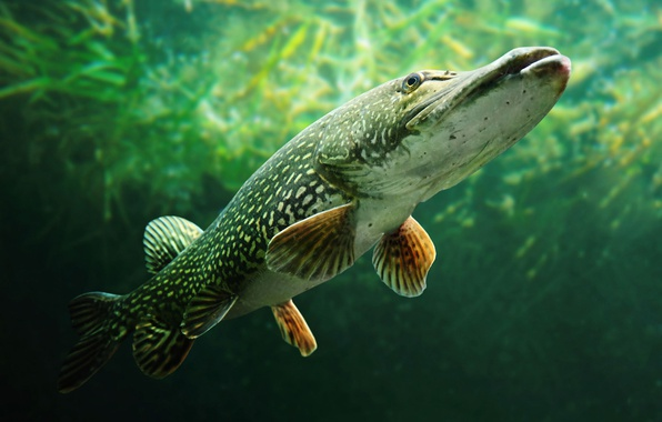 Picture fish, pike, Esox lucius, Family Makovye, Pike Ordinary