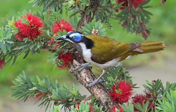 Photo wallpaper Callistemon, Kaneuchi honeyeater, bird, branch, tree, flowers