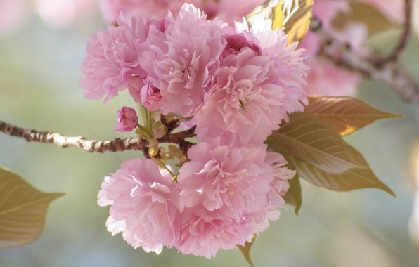Picture flowers, branch, spring, garden, Sakura
