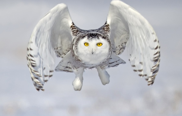 Picture owl, bird, flight, snowy owl, white owl