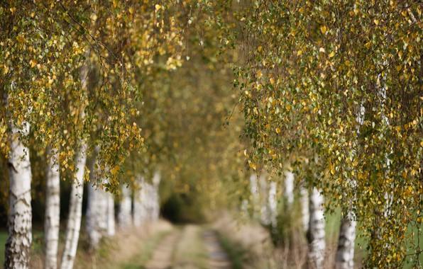 Picture autumn, nature, birch