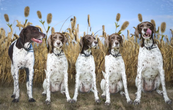 Picture field, dog, breed