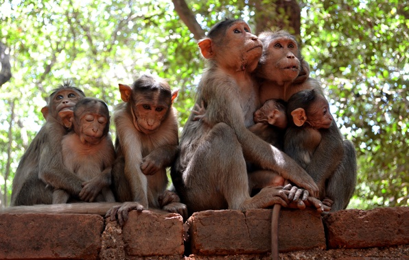 Picture nature, family, monkey