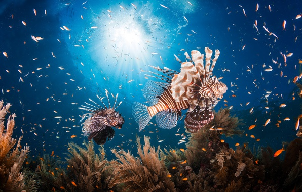 Photo wallpaper sea, fish, the ocean, under water, fish lion