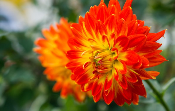 Picture Nature, Flower, Summer, Flowering, Dahlia