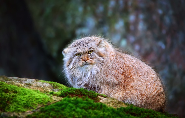 Picture cat, fluffy, manul, Pallas Cat