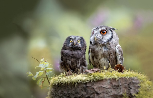 Picture birds, nature, background, owl, two, moss, stump, owls, a couple, owl, owl, friends and comrades