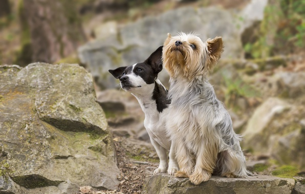 Picture dogs, stones, pair, Yorkshire Terrier