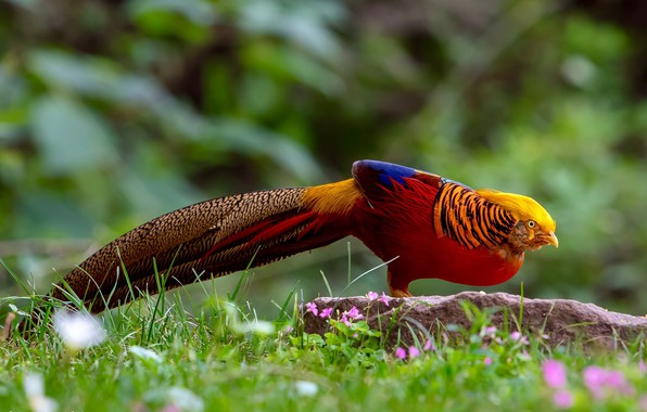 Picture grass, nature, bird, tail, Golden pheasant