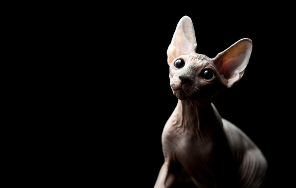 Picture cat, eyes, look, kitty, black background, kitty, Sphinx