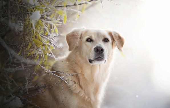 Picture frost, look, face, branches, background, dog, Golden Retriever, Golden Retriever