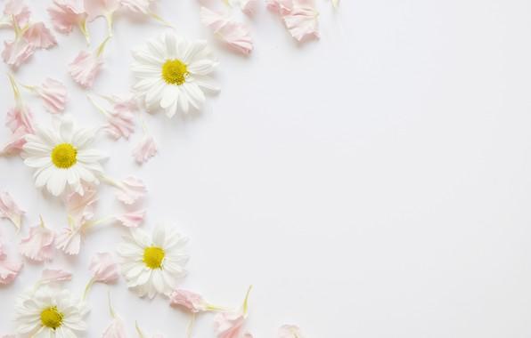 Picture flowers, chamomile, petals, pink, decor, petals, chamomiles