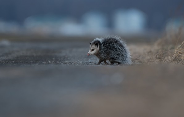 Picture road, animals, background, small, animal, walk, possum, funny, nosy