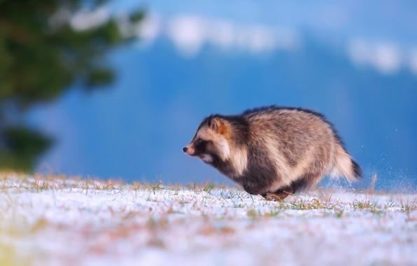 Picture winter, snow, running, Enoteca, Raccoon dog, Ussuri raccoon Fox
