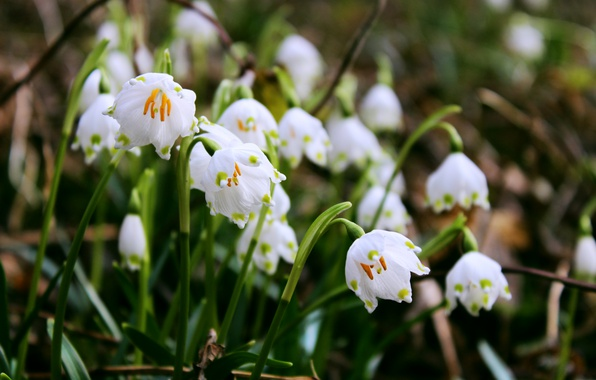 Picture forest, flower, macro, flowers, spring, forest, flowers, aroma, macro, bokeh, bokeh, spring, snowdrops, aroma, Snowflake, …