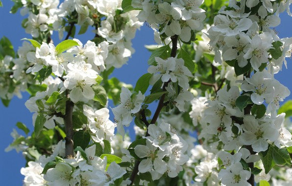 Picture flowers, branches, nature, tree, spring, Apple