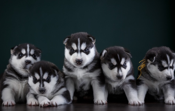 Picture puppies, husky, quintet