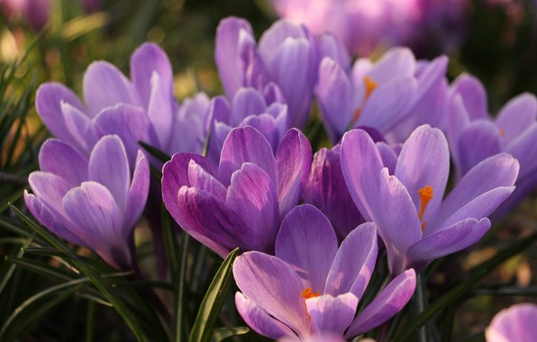 Picture purple, macro, spring, crocuses