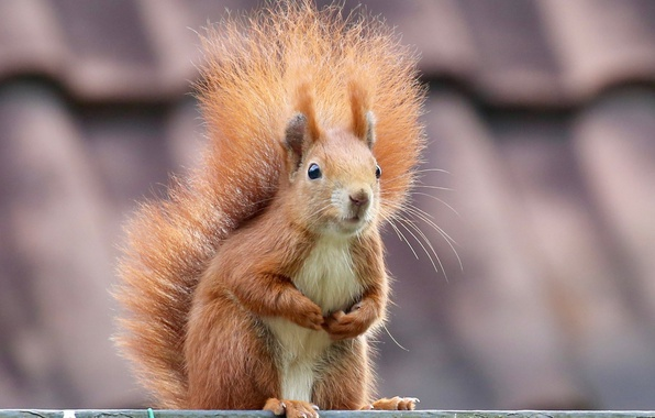Picture protein, muzzle, tail, red, rodent