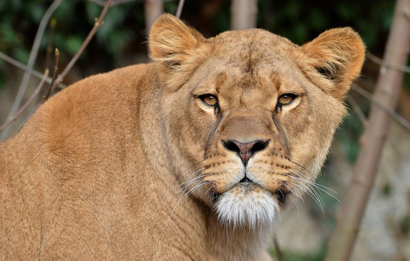 Picture cat, look, face, branches, background, portrait, wild cats, lioness, wildlife, Queen