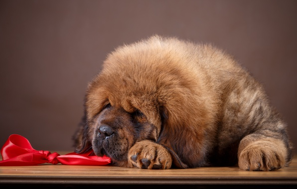Photo wallpaper bow, puppy, large, Tibetan Mastiff